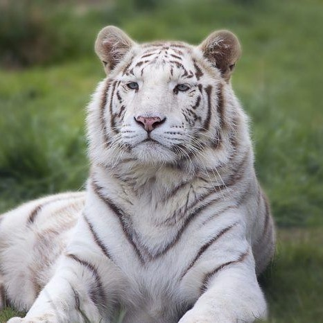 white tiger thu